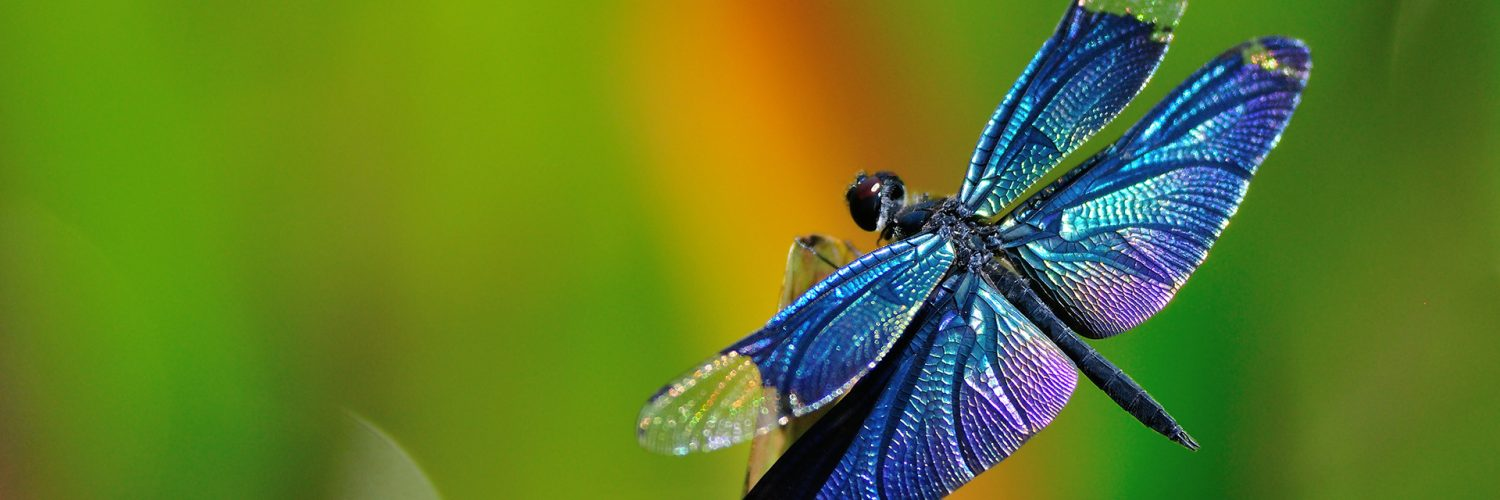 Myths Legends About Dragonflies Their Symbolism In Feng Shui
